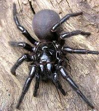 Сиднейский лейкопаутинный или воронковый паук atrax robustus