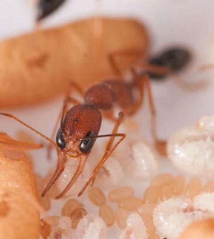 Рабочие муравьи выявляют будущих королев