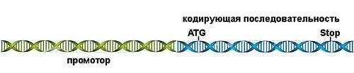 Ген – кодирующий участок ДНК плюс промотор