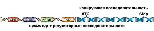 Ген плюс факторы транскрипции