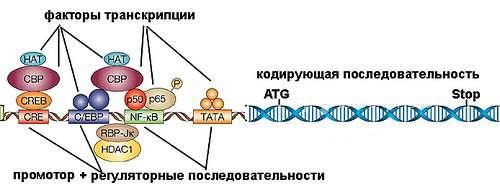 Факторы транскрипции