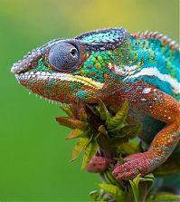 Изменение «цвета кожи» хамелеона