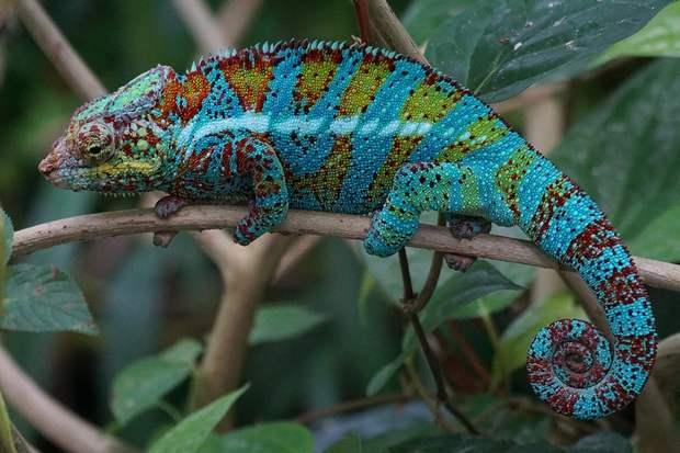Кожа хамелеона покрыта нанокристаллами, которые в спокойном состоянии отражают голубой свет